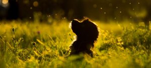 Precious Pet Cemetery - Dog